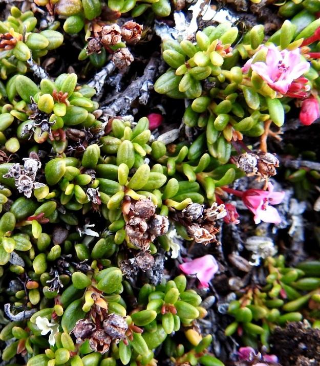 Kalmia procumbens (Loiseleuria procumbens) - sielikön kota on pallomainen ja halkaisijaltaan noin 2-3 mm. Se avautuu kärjestään neliliuskaisesti. Avautuneet hedelmykset pysyvät kuivuneina pitkään paikallaan, kuten kuvassa näkyvät edellisen kasvukauden kodat osoittavat. EnL, Enontekiö, Kilpisjärvi, Saana, luoteisrinne lähellä lounaista pahtaseinämää, 745 m mpy, 5.7.2018. Copyright Hannu Kämäräinen.