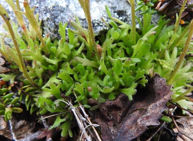 Saxifraga cespitosa - mätäsrikon ruusukelehdet ovat leveäruotiset ja ulkokehältään vastapuikeat. Ruoti muuttuu ilman rajaa lehtilavaksi, jonka kärki on yleensä 3-5-liuskainen tai toisinaan isohampainen. Pituutta ruusukelehdillä on ruotineen tavallisesti 5-20 mm. Lehdet ovat tiheään nystykarvaiset. EnL, Enontekiö, Kilpisjärvi, Saanan jyrkkä lounaisrinne, ensimmäisen, matalan pahtaseinämän yläpuolinen kalliojuotti retkeilykeskuksen kohdalla, luonnonsuojelualue, 630 m mpy, 5.7.2018. Copyright Hannu Kämäräinen.