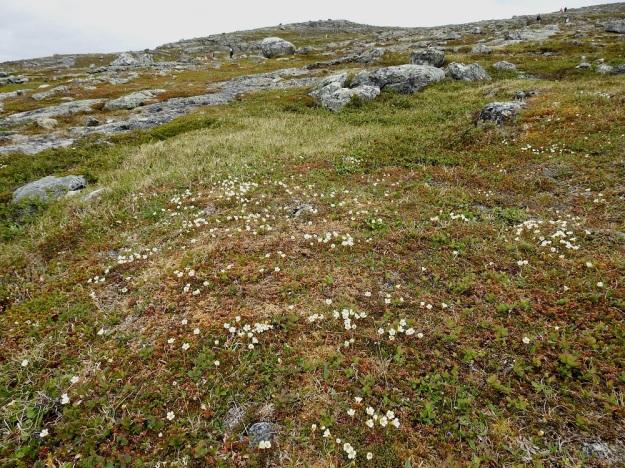 Diapensia lapponica - lapinuuvana on avoimien ja tuulisten tunturikankaiden kasvi. EnL, Enontekiö, Kilpisjärvi, Saana, luoteisrinne lähellä lounaista pahtaseinämää, 745 m mpy, 5.7.2018. Copyright Hannu Kämäräinen.