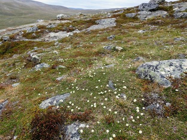 Dryas octopetala - tunturilapinvuokko on kalkinsuosija ja kasvaa Kilpisjärven seudun tuntureilla ravinteisilla tunturikankailla usein valtalajinakin. EnL, Enontekiö, Kilpisjärvi, Saana, luoteisrinne lähellä lounaista pahtaseinämää, 745 m mpy, 5.7.2018. Copyright Hannu Kämäräinen.