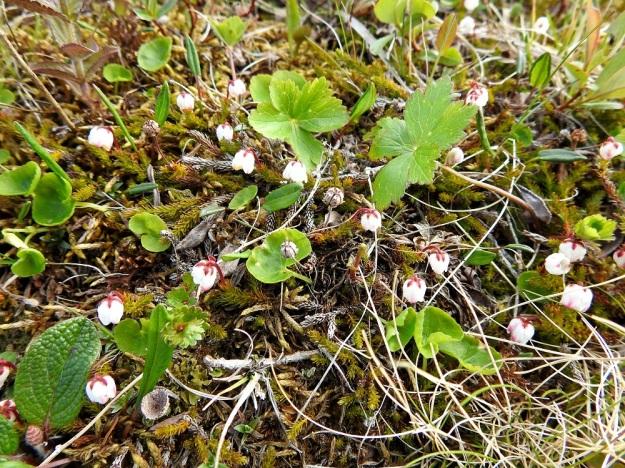 Harrimanella hypnoides (Cassiope hypnoides) - tunturisammalvarpio on ilman kukkiaan varsin huomaamaton muun kasvillisuuden seassa. Sen voi helposti sekoittaa sammaliin. Kuvassa myös mm. niittykulleron, Trollius europaeus, lapinorvokin, Viola biflora ja vasemmassa alakulmassa verkkolehtipajun, Salix reticulata lehtiä. EnL, Enontekiö, Kilpisjärvi, Saana, luoteisrinne lähellä lounaista pahtaseinämää, 745 m mpy, 5.7.2018. Copyright Hannu Kämäräinen.