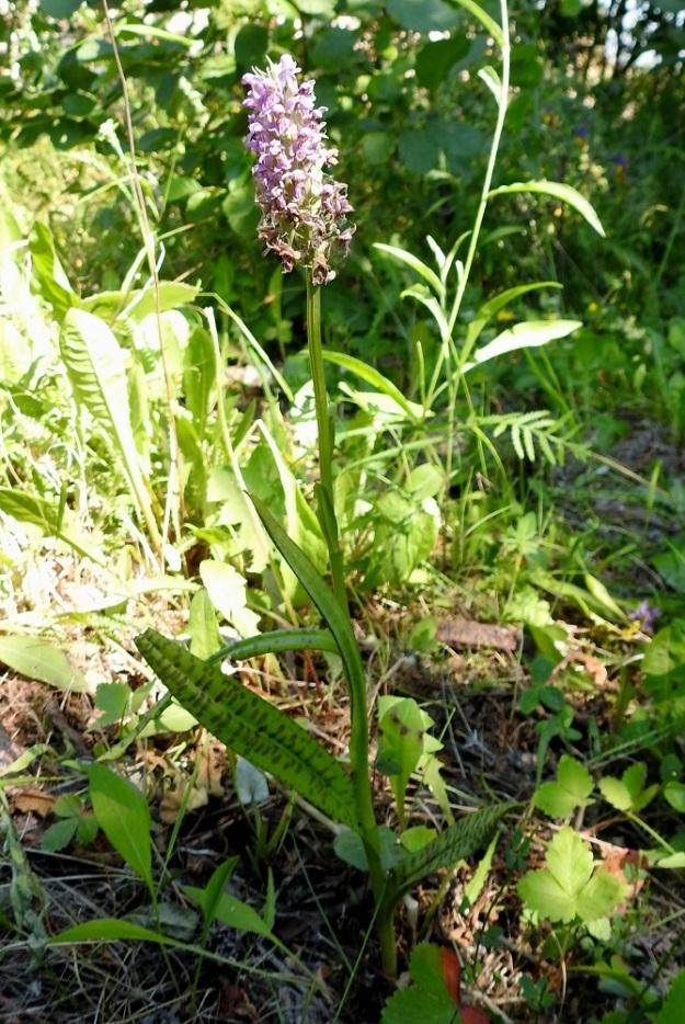 Dactylorhiza majalis subsp. baltica - toukokämmekkä subsp. baltiankämmekkä on saapunut Kotkan kasvupaikalleen baltialaisen koivun mukana, kuten monet muutkin alueella tavatut erikoisuudet. Kuvassa on niityn kolmesta kämmekästä keskimmäinen, noin 35 cm korkea yksilö. EK, Kotka, 27.6.2020. Copyright Hannu Kämäräinen.