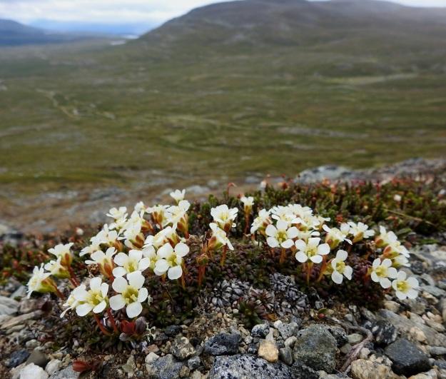 Diapensia lapponica - lapinuuvana on tiiviin patja- tai kupumainen ja kukkineen tavallisesti vain noin 3-6 cm korkea varpu. EnL, Enontekiö, Kilpisjärvi, Saana, luoteisrinne lähellä lounaista pahtaseinämää, 745 m mpy, taustalla Jehkas-tunturi, 5.7.2018. Copyright Hannu Kämäräinen.