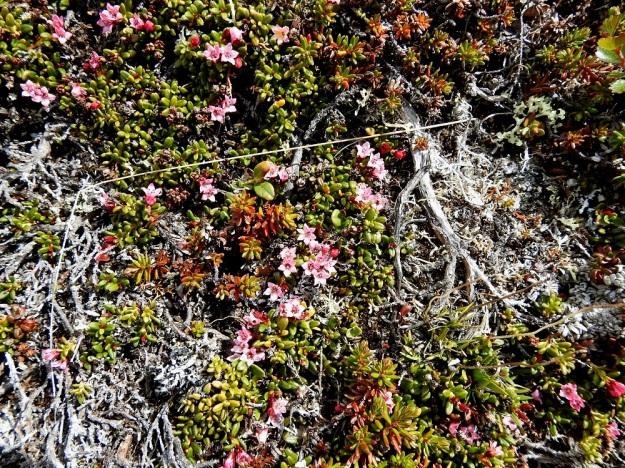 Kalmia procumbens (Loiseleuria procumbens) - sielikön varret ovat tavallisesti noin 10-20 cm pitkät ja varsinkin vanhoissa yksilöissä usein suhteettoman rotevat ja paksun puiset vuosiversojen kokoon nähden. EnL, Enontekiö, Kilpisjärvi, Saana, luoteisrinne lähellä lounaista pahtaseinämää, 745 m mpy, 5.7.2018. Copyright Hannu Kämäräinen.