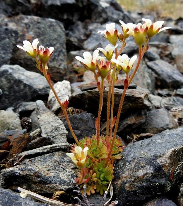 Saxifraga cespitosa - mätäsrikko muodostaa nimensä mukaisesti tiheitä, runsaslehtisiä pikku mättäitä. Kukintovarret ovat yleensä pystyt ja haarattomat sekä yleensä punaruskeat. Korkeutta niillä on tavallisesti noin 5-15 cm. EnL, Enontekiö, Kilpisjärvi, Saanan jyrkkä, kivikkoinen koillisrinne pahtaseinämän alapuolella, Saanajärven luoteispään kohdalla, 745 m mpy, 6.7.2018. Copyright Hannu Kämäräinen.
