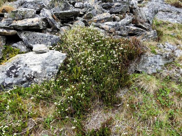 Cassiope tetragona - liekovarpio on monivuotinen, ns. ikivihreä varpu, jonka hyvinvoivat kasvustot ovat usein hyvin tiheitä ja kasvualansa peittäviä. Kuvan varsikkoon on kuitenkin sekaan mahtunut myös pohjanriidenlieko, Spinulum annotinum subsp. alpestre.. EnL, Enontekiö, Kilpisjärvi, Saanan jyrkkä, kivikkoinen koillisrinne lähellä pahtaseinämän tyveä, Saanajärven luoteispään kohdalla, 800 m mpy, 6.7.2018. Copyright Hannu Kämäräinen.
