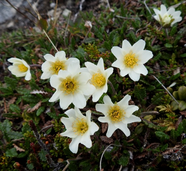 Dryas octopetala - tunturilapinvuokon kukat ovat yksittäin versohaarojen kärjessä. Ne muistuttavat ulkonäöltään aika paljon valkovuokon, Anemone nemorosa, kukkia. EnL, Enontekiö, Kilpisjärvi, Saana, luoteisrinne lähellä lounaista pahtaseinämää, 745 m mpy, 5.7.2018. Copyright Hannu Kämäräinen.