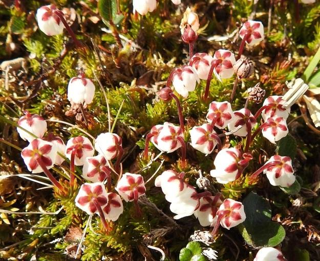 Harrimanella hypnoides (Cassiope hypnoides) - tunturisammalvarpion nuokkuvien kukkien viisi verholehteä ovat teriön valkoista väriä vasten huomiota herättävän punasävyiset. Ne ovat soikeat, teräväkärkiset ja noin 2 mm pitkät. EnL, Enontekiö, Kilpisjärvi, Saana, luoteisrinne lähellä lounaista pahtaseinämää, 720 m mpy, 5.7.2018. Copyright Hannu Kämäräinen.