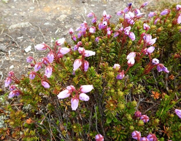 Phyllodoce caerulea - tunturikurjenkanervan kukat ovat yleensä pareittain tai pienenä ryhmänä haarojen kärjessä. Ne ovat puhkeamisensa jälkeen nuokkuvia tai sivulle siirottavia. Puutuneet varret ovat harmahtavat tai ruskehtavat ja pinnaltaan hilseilevät. Ylemmissä osissa lehtiarvet ovat näkyvästi koholla. EnL, Enontekiö, Kilpisjärvi, Saanan luoteisen alarinteen poikki kohti Saanajärveä vievän polun varsi, paljakkarinteen tunturikangas, 620 m mpy, 6.7.2018. Copyright Hannu Kämäräinen.