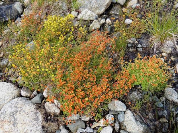 Saxifraga aizoides - kultarikon samoissakin kasvustoissa kukkien väri vaihtelee luoden monenlaisia vivahteita ja kukkien eri osien värikombinaatioita. EnL, Enontekiö, Kilpisjärvi, Saanan lounainen alarinne Käsivarrentien laidassa, lettosuon reunan valuvetinen kivikkorinne, 485 m mpy, 16.7.2013. Copyright Hannu Kämäräinen.