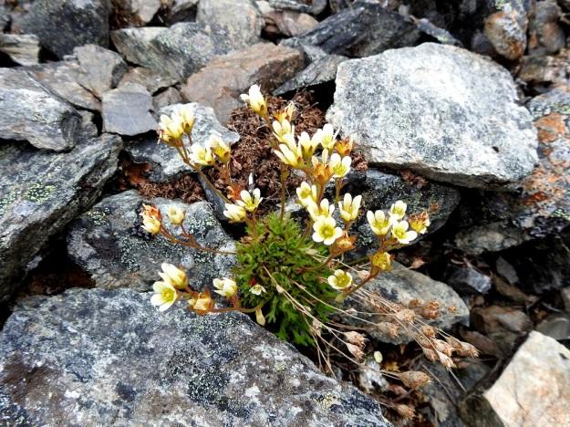 Saxifraga cespitosa - mätäsrikon varret voivat joskus olla kuvan tavoin myös enemmän tai vähemmän kohenevat. Laji menestyy myös muuten lähes kasvittomilla vierinkivikoilla. Se onnistuu ujuttamaan kasvin kokoon nähden pitkän juurakkonsa kivenraoista maaperään ja saa lisäravinnetta myös omista, maatuvista lehdistään. EnL, Enontekiö, Kilpisjärvi, Saanan jyrkkä, kivikkoinen koillisrinne pahtaseinämän alapuolella, Saanajärven luoteispään kohdalla, 745 m mpy, 6.7.2018. Copyright Hannu Kämäräinen.