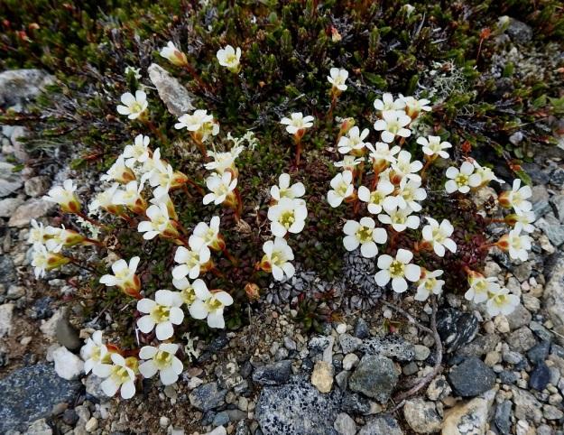 Diapensia lapponica - lapinuuvanan kukat ovat yksittäin lähellä verson kärkeä. Ne ovat pystyjä tai hieman sivulle kaartuvia. Taustalla toinen tunturipaljakan kasvi, tunturiliekovarpio, Cassiope tetragona. EnL, Enontekiö, Kilpisjärvi, Saana, luoteisrinne lähellä lounaista pahtaseinämää, 745 m mpy, 5.7.2018. Copyright Hannu Kämäräinen.