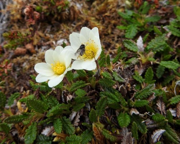 Dryas octopetala - tunturilapinvuokon kukat kiinnostavat ainakin tunturin kärpäsiä, jotka voivat samalla hoitaa pölytystä. EnL, Enontekiö, Kilpisjärvi, Saana, luoteisrinne lähellä lounaista pahtaseinämää, 745 m mpy, 5.7.2018. Copyright Hannu Kämäräinen.