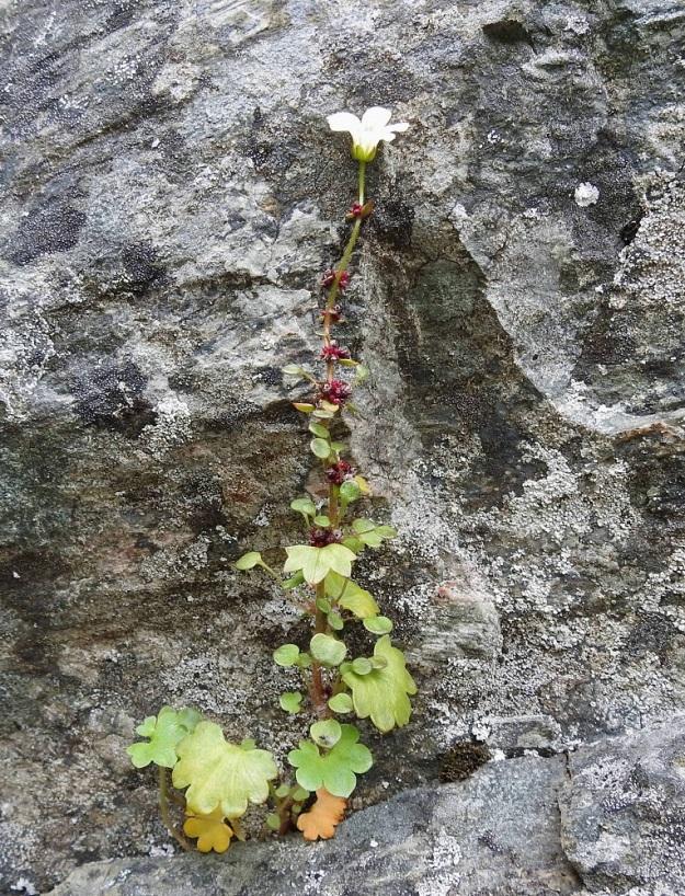 Saxifraga cernua - nuokkurikko ei kukkivana vastaa mitenkään nimeään, sillä varren lisäksi myös kukka avauduttuaan kääntyy pystyasentoon. EnL, Enontekiö, Kilpisjärvi, Iso-Mallan eteläinen alarinne, Kitsijoen Kitsiputouksen seinämärinne, 655 m mpy, 9.7.2018. Copyright Hannu Kämäräinen.