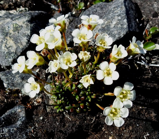 Diapensia lapponica - lapinuuvanan kukat ovat valkoiset tai kermanvalkoiset ja tavallisesti noin 15 mm leveä. EnL, Enontekiö, Kilpisjärvi, Saana, luoteisrinne lähellä lounaista pahtaseinämää, 815 m mpy, 10.7.2018. Copyright Hannu Kämäräinen.