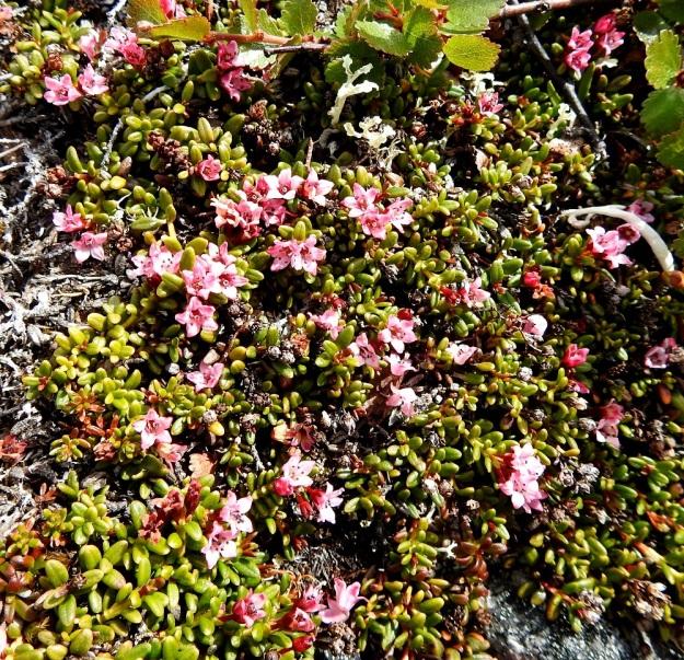 Kalmia procumbens (Loiseleuria procumbens) - sielikön kasvustopatjat ovat parhaimmillaan runsaskukkaisia. Puhjetessaan kukat ovat ruusunpunaisia ja haalistuvat avoimina aika nopeasti vaaleanpunaisiksi. EnL, Enontekiö, Kilpisjärvi, Saana, luoteisrinne lähellä lounaista pahtaseinämää, 745 m mpy, 5.7.2018. Copyright Hannu Kämäräinen.