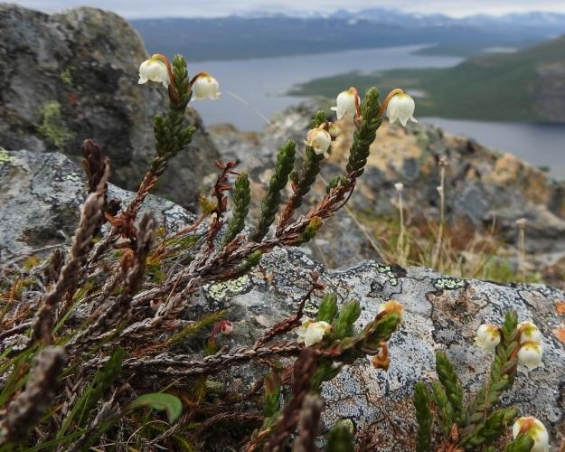Cassiope tetragona - liekovarpion varren alempien osien lehdet ovat harmaat, hilseilevät ja kuolleet, mutta pysyvät vuosia varisematta. Ylempänä on kuolleita tai kuolevia kellertäviä ja ruskeita lehtiä. Ylempien vuosiversojen lehdet pysyvät elävinä noin 2-3 vuotta. Liekovarpion tyvellä on kuvassa myös tunturisammalvarpion, Harrimanella hypnoides, varsia ja yksi kukka. Taustalla näkyy Kilpisjärvi. EnL, Enontekiö, Kilpisjärvi, Saana, luoteisrinne lähellä lounaista pahtaseinämää, 745 m mpy, 5.7.2018. Copyright Hannu Kämäräinen.
