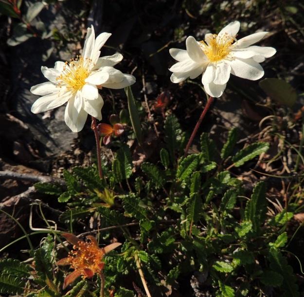 Dryas octopetala - tunturilapinvuokon kukkaperä on yleensä 2-10 cm pitkä ja pitenee vielä hedelmävaiheessa. Se on pysty ja väriltään kellanvihreästä punaruskeaan. Vaikka terälehtien määrä onkin enimmäkseen kahdeksan, se vaihtelee ainakin välillä 7-16. Kuvan vasemmanpuoleisessa kukassa on osin kolmessa kerroksessa yhteensä 16 terälehteä. Oikeanpuoleisessa kukassa niitä on 14. EnL, Enontekiö, Kilpisjärvi, Saana, jyrkkä lounaisrinne ensimmäisen, matalan pahtaseinämän yläpuolella, retkeilykeskuksen kohdalla, luonnonsuojelualue, 665 m mpy, 17.7.2013. Copyright Hannu Kämäräinen.