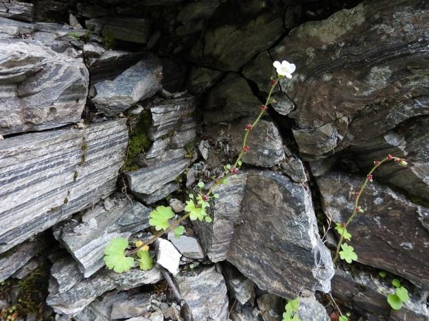 Saxifraga cernua - nuokkurikko ujuttaa ja kasvattaa juurikimppunsa useimmiten vähän kilpailtuihin kallionhalkeamiin ja kivenkoloihin. Kasvupaikka voi olla ulkonäöltään hyvinkin karu, kuten kuvassa, mutta ohuiden juurien pitää tavoittaa kallioperästä liukenevaa ja kasvuun tarvittavaa kalkkia. EnL, Enontekiö, Kilpisjärvi, Iso-Mallan eteläinen alarinne, Kitsijoen Kitsiputouksen seinämärinne, 655 m mpy, 9.7.2018. Copyright Hannu Kämäräinen.
