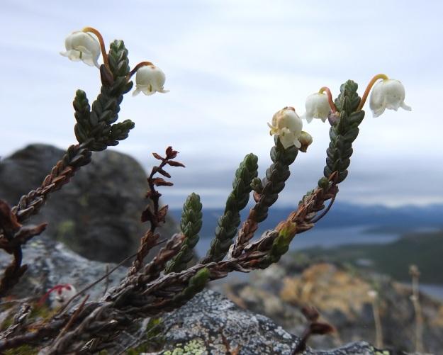 Cassiope tetragona - liekovarpion lehdet peittävät varren tiiviisti, limittäin ja varrenmyötäisesti. Ne ovat ristikkäin vastakkaisesti. Näin lehdet muodostavat varrelle neljä jonoa tehden verson nelisärmäiseksi ja suomalaisen sukunimensä mukaisesti liekomaiseksi. Varret ovat pitkäikäisiä ja voivat elää parikymmentäkin vuotta. EnL, Enontekiö, Kilpisjärvi, Saana, luoteisrinne lähellä lounaista pahtaseinämää, 745 m mpy, 5.7.2018. Copyright Hannu Kämäräinen.