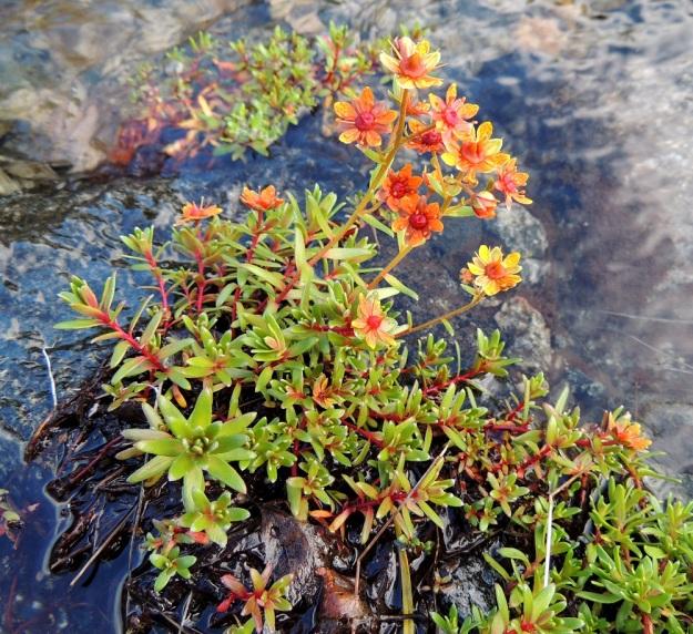 Saxifraga aizoides - kultarikon kukintovarret ovat kohenevat ja tavallisesti noin 5-15 cm korkeat. Kukintovarsien tyvellä on runsaasti myös lyhyempiä, kukattomia varsia. Varsien väri vaihtelee vaaleanvihreästä punaiseen. Kukinto on harvahko, lehtihankainen huiskilo. EnL, Enontekiö, Kilpisjärvi, Saanan lounainen alarinne Käsivarrentien laidassa, lettosuon reunan valuvetinen kivikkorinne, 485 m mpy, 16.7.2013. Copyright Hannu Kämäräinen.