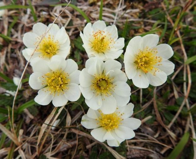 Dryas octopetala - tunturilapinvuokon valkoisen teriön leveys vaihtelee noin välillä 20-40 mm. Terälehdillä on pituutta tavallisesti 8-17 mm ja leveyttä leveimmältä kohtaa noin 5-10 mm. Kuvan keskimmäisessä kukassa on yhdeksän normaalisti kehittynyttä terälehteä ja niiden päällä kolme vajaaksi jäänyttä lehteä. EnL, Enontekiö, Kilpisjärvi, Saana, luoteisrinne lähellä lounaista pahtaseinämää, 745 m mpy, 5.7.2018. Copyright Hannu Kämäräinen.