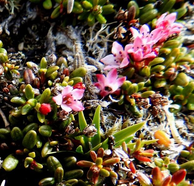 Kalmia procumbens (Loiseleuria procumbens) - sielikön teriö on yhdislehtinen, maljamainen ja tavallisesti noin 4 mm leveä ja 3-3,5 mm pitkä. Kukinnan jälkeen se irtoaa kokonaisena ja lakastumattomana. EnL, Enontekiö, Kilpisjärvi, Saana, luoteisrinne lähellä lounaista pahtaseinämää, 745 m mpy, 5.7.2018. Copyright Hannu Kämäräinen.