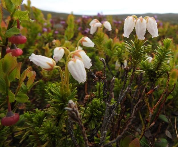 Phyllodoce caerulea f. albiflora - tunturikurjenkanervalla on myös harvinainen valkokukkainen muoto. Ominaisuus on periytyvä ja näyttää säilyvän myös sinipunakukkaisten kasvustojen keskellä. Kuvassa myös kukkiva kangasmustikka, Vaccinium myrtillus. EnL, Enontekiö, Kilpisjärvi, Saanan luoteisen alarinteen poikki kohti Saanajärveä vievän polun varsi, paljakkarinteen tunturikangas, 620 m mpy, 6.7.2018. Copyright Hannu Kämäräinen.