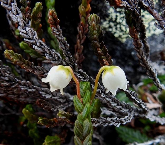 Cassiope tetragona - liekovarpion kukkaperä on yläviisto, päästään alaspäin kaartuva ja kalju. Väriltään se on kellanvihreä tai vaihtelevasti punaruskea. Pituutta on tavallisesti 5-20 mm. Taustalla näkyy lehtien kaari kärjen elävistä lehdistä kuolevien kautta kuolonharmaisiin mutta sitkeästi varressa kiinni pysyviin lehtiin. EnL, Enontekiö, Kilpisjärvi, Saana, luoteisrinne lähellä lounaista pahtaseinämää, 745 m mpy, 5.7.2018. Copyright Hannu Kämäräinen.