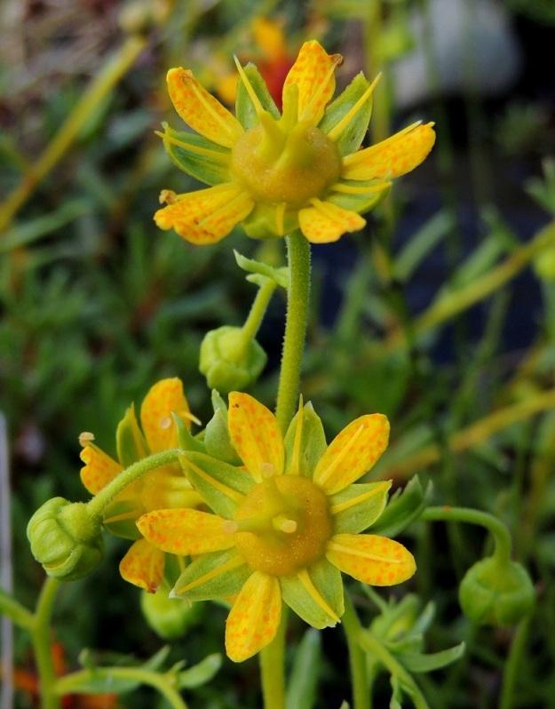 Saxifraga aizoides - kultarikon varsi ja tavallisesti noin 5-20 mm pitkät kukkaperät ovat yleensä lyhytkarvaisia. Emiö on tyveltään yhdiskasvuinen ja kaksivartaloinen. Kuvan yksilö ei kuitenkaan tästä säännöstä tiedä tai piittaa, koska on kasvattanut emeihinsä kolme vartaloa luotteineen. EnL, Enontekiö, Kilpisjärvi, Saanan lounainen alarinne Käsivarrentien laidassa, lettosuon reunan valuvetinen kivikkorinne, 485 m mpy, 16.7.2013. Copyright Hannu Kämäräinen.