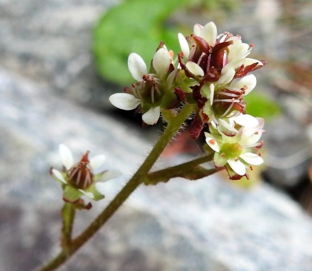 Micranthes tenuis - lumirikko vai M. nivalis - pahtarikko? Kun huomio kiinnitetään edellisessä kuvassa olleen yksilön kukinnon latvaan, nähdään, että siinä on tiiviinä ryhmänä useita hyvin lyhytperäisiä kukkia. Lisäksi kuvassa näkyvät varren pitkät hapsikarvat. Näin ollen hämäävä ensivaikutelma kääntyykin varmuudeksi - kyseessä on selvä pahtarikko. EnL, Enontekiö, Kilpisjärvi, Iso-Mallan eteläinen alarinne, Kitsijoen Kitsiputouksen seinämärinne, 655 m mpy, 9.7.2018. Copyright Hannu Kämäräinen.