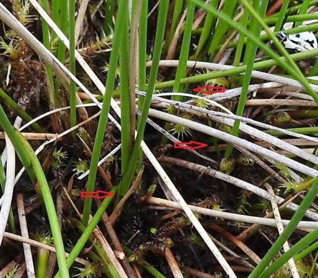 Schoenus ferrugineus - ruskoruosteheinän tyvilehtien havaitseminen vaatii tarkkaavaisuutta ja suon pintaan kyyristymistä mahdollisista sääski- ja mäkäräparvista huolimatta. Lehdet ovatkin pienet. Niiden tuppi on noin 30 mm pitkä ja se jää tyvelle piiloon. Lehtilapa on jäykkä, äimämäinen ja teräväkärkinen sekä yleensä vain 5-20 mm pitkä. Kuvan nuolet helpottavat lehtien havaitsemista. Ks, Kuusamo, Käylä, Oulangan kansallispuisto, Rytilampi, rantasuo, 10.7.2019. Copyright Hannu Kämäräinen.
