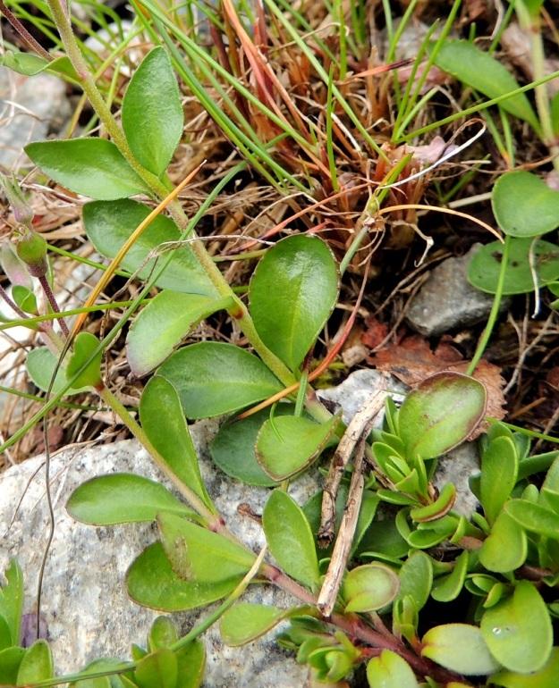 Veronica fruticans - varputädykkeen lehdet ovat vastakkaiset, ruodittomat tai aivan lyhytruotiset ja vihreät sekä kiiltävät ja kaljut tai kaljuhkot. Malliltaan ne ovat vastapuikeat tai soikeahkot ja usein pyöreäpäiset. Pituutta niillä on tavallisesti noin 5-10 mm ja leveyttä leveimmältä kohtaa noin 2-5 mm. EnL, Enontekiö, Kilpisjärvi, Mallan luonnonpuisto, Kalottireitin varsi Iso-Mallan etelärinteellä, Kitsijoen itäpuolen rinnekivikko, 650 m mpy, 19.7.2013. Copyright Hannu Kämäräinen.