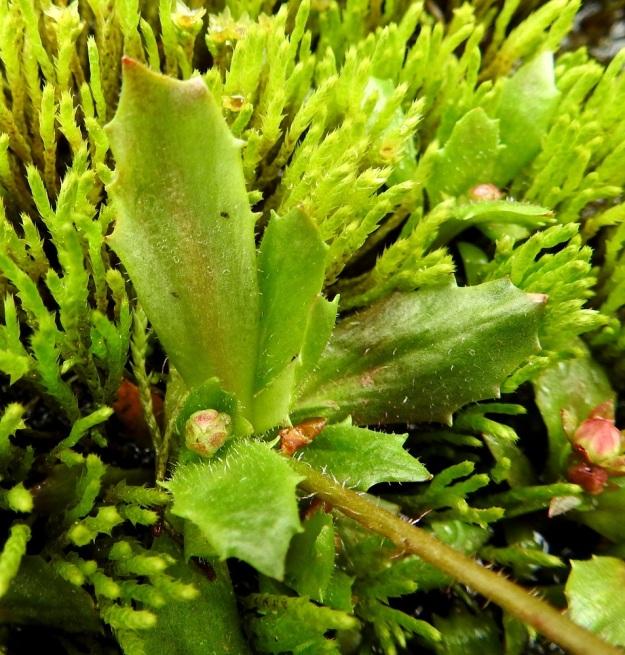 Micranthes stellaris (Saxifraga stellaris) - tähtirikon lehdet ovat nahkeat, vastapuikeat tai soikeat ja kärjestään terävähköhampaiset sekä tavallisesti noin 10-30 mm pitkät ja leveimmältä kohtaa noin 5-10 mm leveät. Niiden yläpinta ja reuna ovat hapsi- ja nystykarvaiset. Myös vanan alaosassa on seassa runsaahkosti hapsikarvoja. EnL, Enontekiö, Kilpisjärvi, Saanan Kilpisjärveen päättyvä, läntinen alarinne Käsivarrentien koillispuolella, tunturikoivikon puro sodan muistomerkkipolun varressa,  490 m mpy, 8.7.2018. Copyright Hannu Kämäräinen.