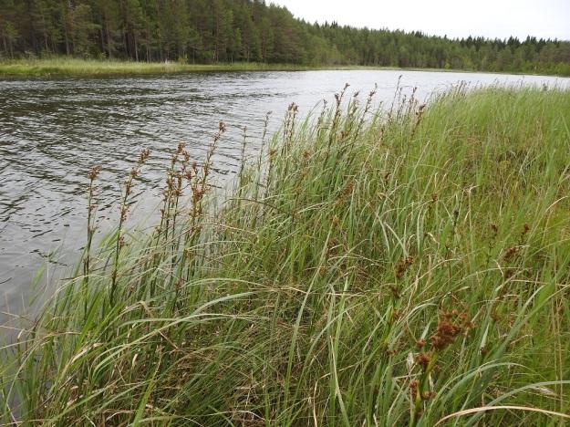 Cladium mariscus - isotaarna on ilmeisesti rönsyämällä levittäytynyt lammen vesirajassa ja rantasuolla noin 60 m pitkäksi kasvustonauhaksi, jossa 2019 oli noin 660 tähkävartta. PS, Joroinen, Ryyhtölä, Saarikko-lampi, luonnonsuojelualue, 12.7.2019. Copyright Hannu Kämäräinen.