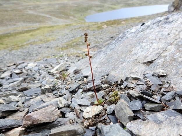 Micranthes foliolosa (Saxifraga foliolosa) - iturikko voi kasvaa hyvinkin karunnäköisessä ja muuten lähes kasvittomassa louhikossa, jos juurien ulottuvilla on ylärinteiltä valuvaa vettä ja kivistä liukenevaa kalkkia. EnL, Enontekiö, Kilpisjärvi, Saanan jyrkkä koillisrinne vähän pahdan pään ja Saanajärven luoteispuolella, 800 m mpy, 6.7.2018. Copyright Hannu Kämäräinen.