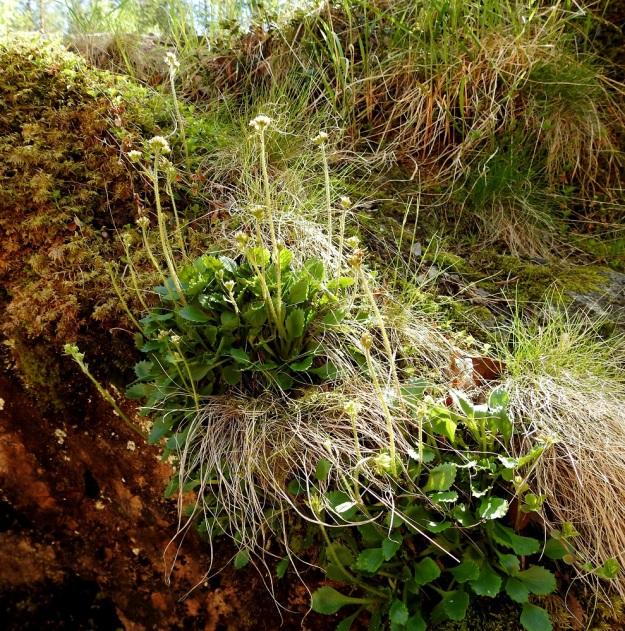 Micranthes nivalis (Saxifraga nivalis) - pahtarikon juurakko haaroo toisinaan yläpäästään ja voi kasvattaa jopa suoranaisen ruusukematon. Kuvan kasvustosta on vaikea sanoa onko kyse yhdestä, kahdesta vai useammasta eri yksilöstä. Kukkavanoja on yhteensä noin 30. Ks, Kuusamo, Käylä, Oulankajoen eteläiset rantakalliot Kiutakönkään kohdalla, rantajyrkänne, kalliokielekkeen reuna, 14.6.2019. Copyright Hannu Kämäräinen.