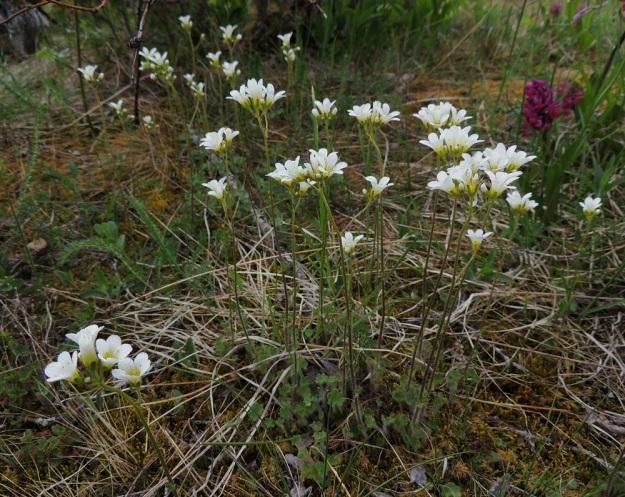 Saxifraga granulata - papelorikko on tavallisesti noin 15-40 cm korkea. Sen kasvuympäristöä ovat mm. kallioiset keto- ja lehtoniityt, laidunalueet sekä ketomaiset pientareet. Kuvassa seuralaisena seljakämmekkä, Dactylorhiza sambucina. A, Lemland, Styrsön ja Nåtön välinen pieni Rödgrundet-saari, jonka maantie lävistää, tienlaitaketo, YKJ 27.5.2013. Copyright Hannu Kämäräinen.