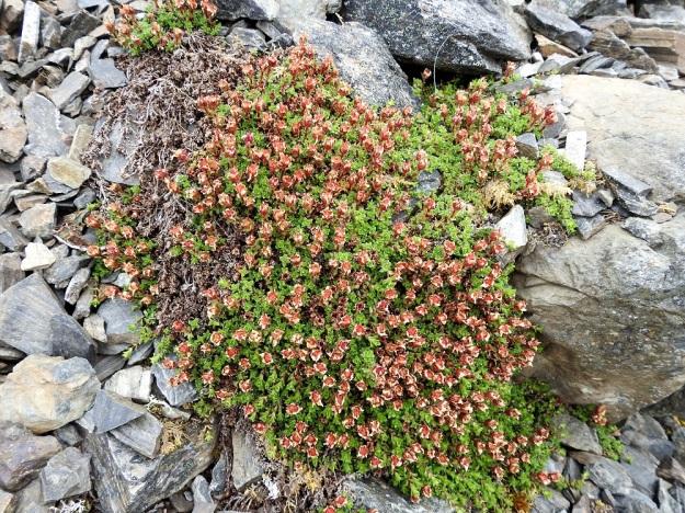 Saxifraga oppositifolia - sinirikko on mätästävä ja muodostaa tiheän patjamaisia tai mattomaisia kasvustoja. Kasvupaikaksi käy louhikkokin, kunhan tarjolla on riittävästi kalkkia ja kivikon seassa valuvaa vettä. Jo heinäkuun alussa ovat pohjoisen puolen rinteidenkin kasvustot lähes täydellisesti ohikukkineet. EnL, Enontekiö, Kilpisjärvi, Saanan jyrkkä, kivikkoinen koillisrinne pahtaseinämän alapuolella, Saanajärven luoteisosan kohdalla, 775 m mpy, 6.7.2018. Copyright Hannu Kämäräinen.
