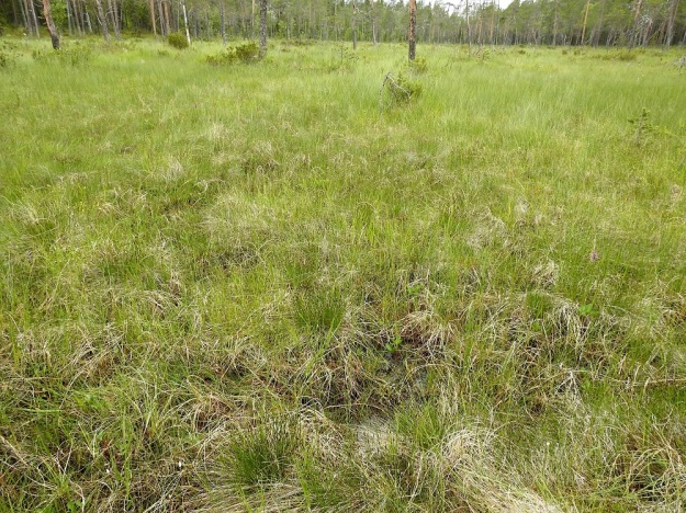 Schoenus ferrugineus - ruskoruosteheinän noin 30 m x 50 m:n kokoinen tiheähkö mättäikkö kalkkipitoisella ja rimpisellä rantaletolla. Kuvan oikeassa laidassa häämöttää punertavana myös lapinkämmekkä, Dactylorhiza majalis subsp. lapponica. Ks, Kuusamo, Käylä, Oulangan kansallispuisto, Rytilampi, rantasuo, 10.7.2019. Copyright Hannu Kämäräinen.