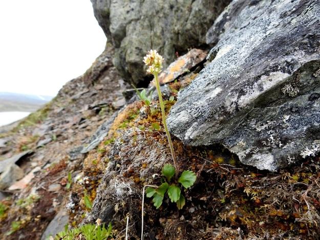 Micranthes nivalis (Saxifraga nivalis) - pahtarikko on nimensä mukaisesti myös pahtarinteiden ja kalliojyrkänteiden kasvi , vaikka se viihtyykin monenlaisilla kallio- ja kivipinnoilla. EnL, Enontekiö, Kilpisjärvi, Saanan jyrkkä, koillisrinne, pahtaseinämän tyvi Saanajärven luoteispään kohdalla, 795 m mpy, 6.7.2018. Copyright Hannu Kämäräinen.