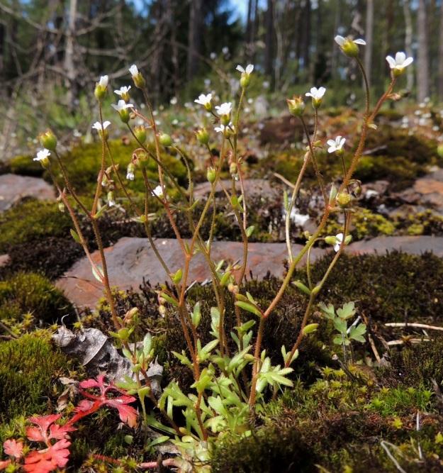 Saxifraga tridactylites - mäkirikko on tavallisesti noin 3-12 cm korkea ja sen varret ovat pystyt ja lehtiset sekä usein myös haarovat. V, Salo, Särkisalo, Förby, aidatun kalkkilouhosalueen pohjoispuoli, avokalliopaljastuma, 14.5.2015. Copyright Hannu Kämäräinen.