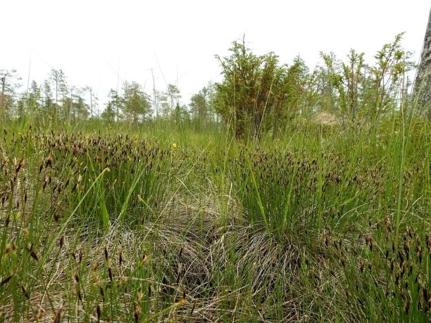 Schoenus ferrugineus - ruskoruosteheinän hyvin tiheät mättäät kohoavat vetistä suonpintaa hieman korkeammalle. Pysty ja runsashaarainen juurakko sitoo kasvin tiukasti turpeeseen. Edellisen kasvukauden alaspäin taipuneet ja lakastuneet varret kehystävät mättäitä. Ks, Kuusamo, Käylä, Oulangan kansallispuisto, Rytilampi, rantasuo, 10.7.2019. Copyright Hannu Kämäräinen.