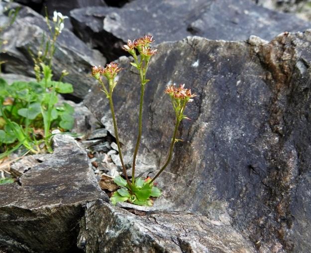 Micranthes tenuis (Saxifraga tenuis) - lumirikon juurakko voi haaroa yläpäästään ja kasvattaa rinnakkaisia ruusukkeita. Yhdessä ruusukkeessa voi olla myös useampia kukintovanoja. Merkittävä pahtarikosta, M. nivalis, erottava tuntomerkki on kukinnon harvakukkaisuus ja kukkien pitkäperäisyys. EnL, Enontekiö, Kilpisjärvi, Iso-Mallan eteläinen alarinne, Kitsijoen Kitsiputouksen seinämärinne, 655 m mpy, 9.7.2018. Copyright Hannu Kämäräinen.