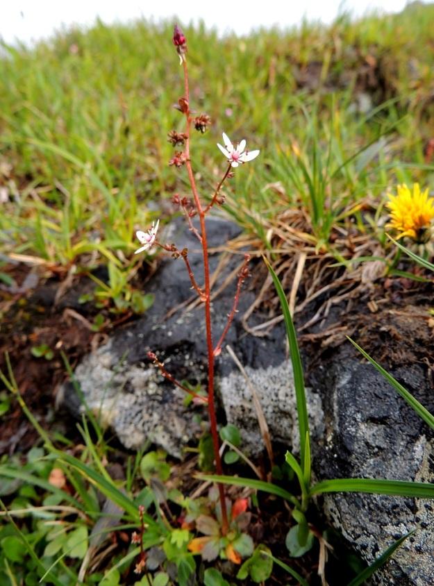 Micranthes foliolosa (Saxifraga foliolosa) - iturikon kukinto on usein harvakseen haarainen. Haarat ovat sivulle tai yläviistoon siirottavia ja niiden pituus vaihtelee suuresti. Toisinaan alin haara voi olla vanan puoliväliä alempana. Varsi ja kukintohaarat ovat kuvan tavoin punaruskeat tai toisinaan vihreät. EnL, Enontekiö, Kilpisjärvi, Saana, Saanan luoteisrinteen paljakkakangas lähellä lounaispahdan reunaa, 730 m mpy, 17.7.2013. Copyright Hannu Kämäräinen.