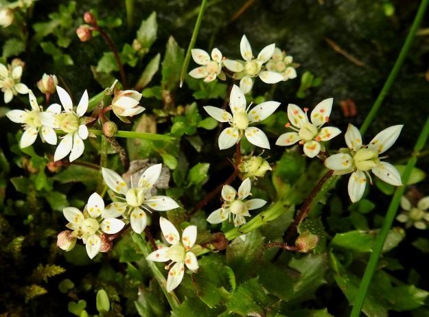 Micranthes stellaris (Saxifraga stellaris) - tähtirikon kukat ovat yksittäin, kaksittain tai yleisemmin 3-5 kukan harsuna huiskilona vanan kärkiosassa. Kukinto-osa haaroo usein myös toistamiseen. EnL, Enontekiö, Kilpisjärvi, Saanan Kilpisjärveen päättyvä, läntinen alarinne Käsivarrentien koillislaidalla Retkeilykeskuksen pohjoispuolella, tunturikoivikosta maantienojaan laskeva puro, 485 m mpy, 9.7.2018. Copyright Hannu Kämäräinen.
