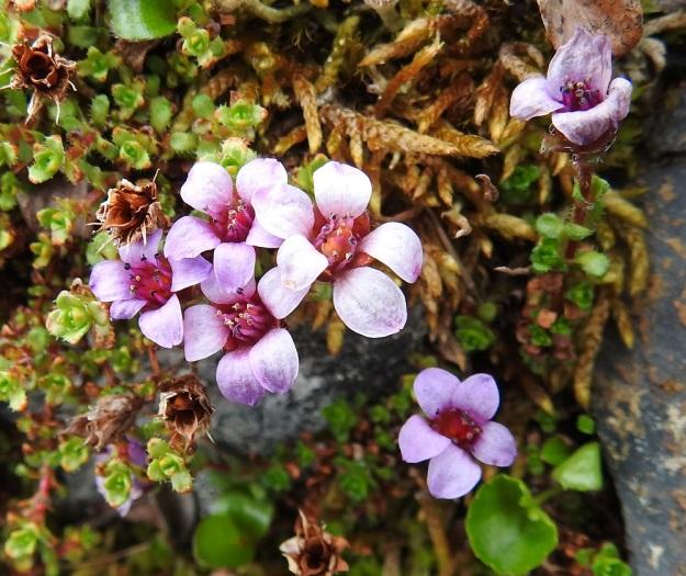 Saxifraga oppositifolia - sinirikon kukat ovat tavallisesti noin 10 mm leveitä. Sinipunaiset tai punavioletit terälehdet kaartuvat ulospäin. EnL, Enontekiö, Kilpisjärvi, Saanan jyrkkä, kivikkoinen koillisrinne lähellä pahtaseinämän tyveä, Saanajärven luoteispään kohdalla, 785 m mpy, 6.7.2018. Copyright Hannu Kämäräinen.