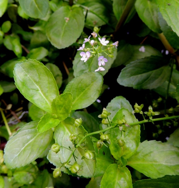 Veronica beccabunga - ojatädykkeen kukkatertut pitenevät avaten kärjestään joka päivä uudet kukat, kunnes ne saavuttavat täyden pituutensa eikä uusia nuppuja enää kehity. Aika nopeasti varren alempien terttujen kaikki kukat kehittyvät hedelmävaiheeseen. EH, Kouvola, Kuusankoski, Kymintehdas, ent. rautavaraston seinustan vesikanava, 1.8.2015. Copyright Hannu Kämäräinen.