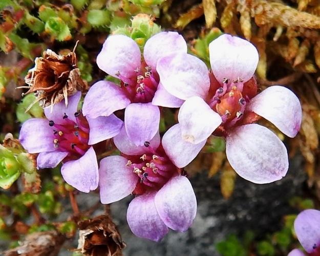 Saxifraga oppositifolia - sinirikon kukan terälehdet ovat yleensä leveänsoikean vastapuikeat sekä pyöreäpäiset. Pituutta niillä on useimmiten 6-10 mm. Heteitä on kymmenen ja niiden palhot ovat sinipunaiset sekä ponnet aluksi tummanvioletit. Emiö on tyveltään yhdislehtinen ja kaksivartaloinen. Luotit ovat keltaiset. EnL, Enontekiö, Kilpisjärvi, Saanan jyrkkä, kivikkoinen koillisrinne lähellä pahtaseinämän tyveä, Saanajärven luoteispään kohdalla, 785 m mpy, 6.7.2018. Copyright Hannu Kämäräinen.