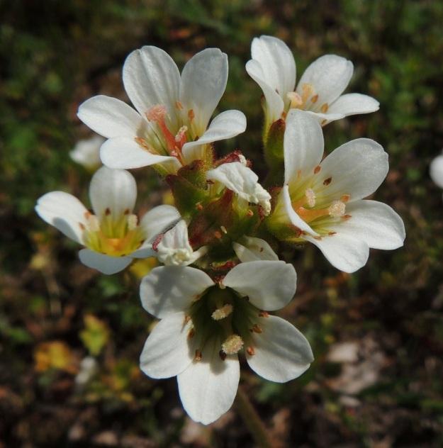 Saxifraga granulata - papelorikon kukassa on kymmenen hedettä ja emissä on kaksi vartaloa ja luottia. Vartalot ovat kukkaan nähden tukevat ja luotit ison sutipäiset. Kukinnan lopulla vartalot erkaantuvat entisestään toisistaan ja kovettuvat kodan sarviksi. Kuvassa kukkaryhmän keskellä on kehityksensä alussa oleva kaksiosainen kota, jossa näkyy jo puoliskojen sisäsauma, josta kota aikanaan aukeaa. A, Sund, Bomarsund, Notviksbasen-niemi, Notvikstornetin raunion viereiset kallioketorinteet, 28.5.2013. Copyright Hannu Kämäräinen.